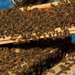 Mason Bee Colonies